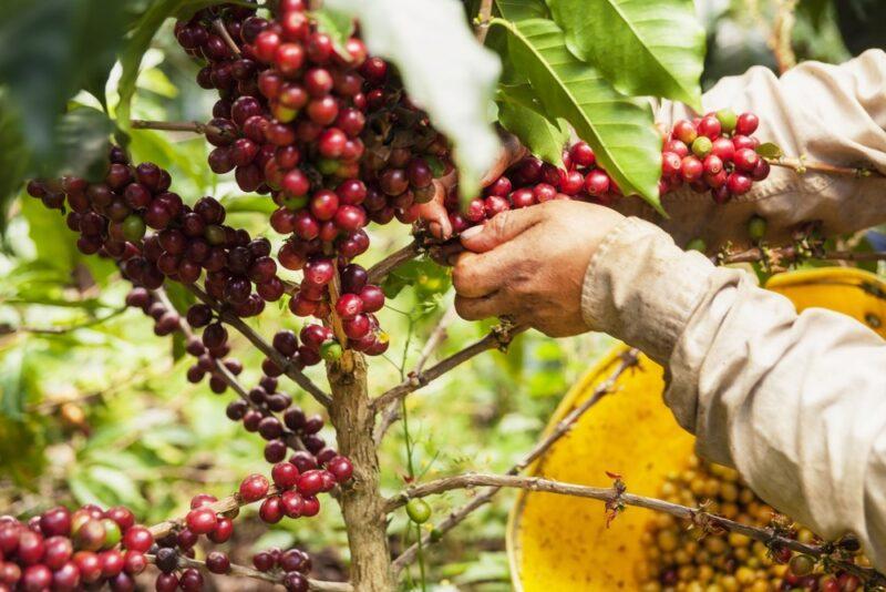 Кофе Hacienda el Roble